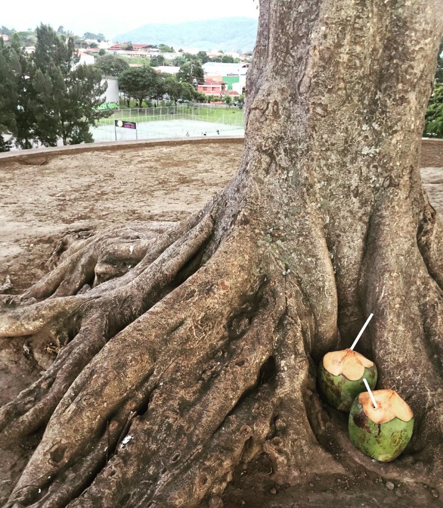 costa rica coconuts