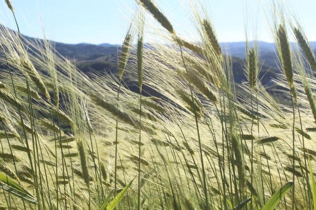 Wheat blowing in the Italian breeze. Marche, Italy. - Deia De Marco